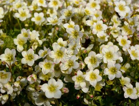 Saxifraga ALPINO EARLY LIME