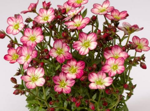 Saxifraga ALPINO EARLY PICOTEE