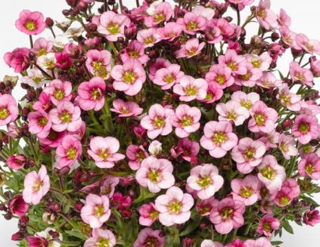 Saxifraga ALPINO EARLY PINK HEART