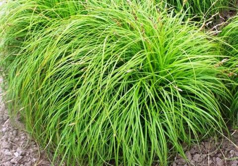 Carex caryophyllea 'The Beatles' ∅ 15cm